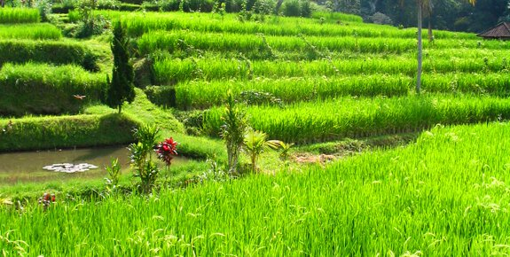 Rice paddy scenery enjoyed during Bali bike tour